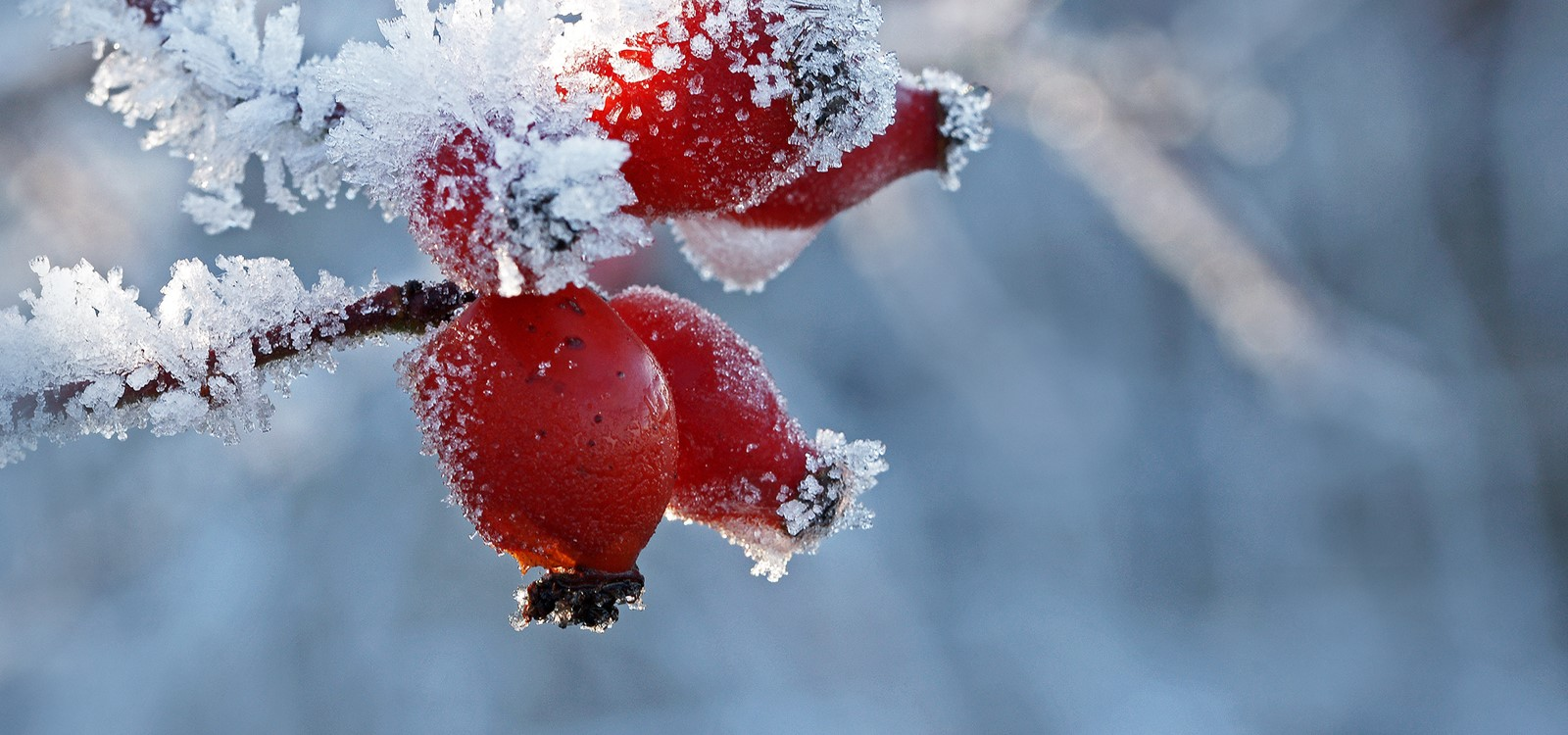 Winter Beeren